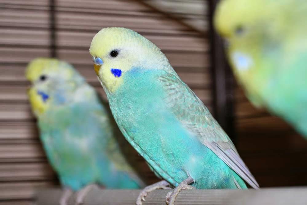 Где купить волнистых попугаев